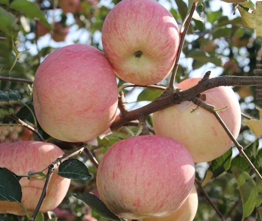 宁津苹果厂家
